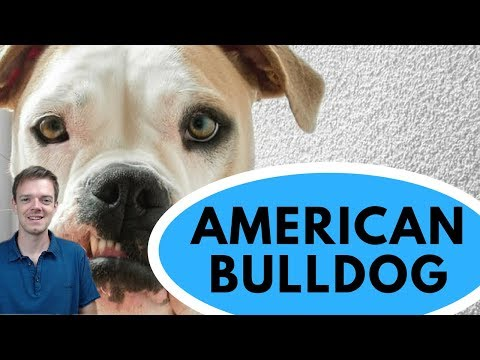 American Bulldog Dog Breed - Powerful and Loving Dog