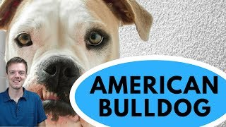 American Bulldog Dog Breed  Powerful and Loving Dog