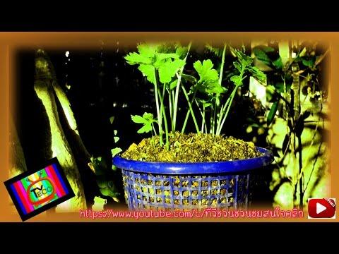 ปลูกผักในถาดขนมจีน เหมาะสม ลงตัว ทำจิรอไร!!
