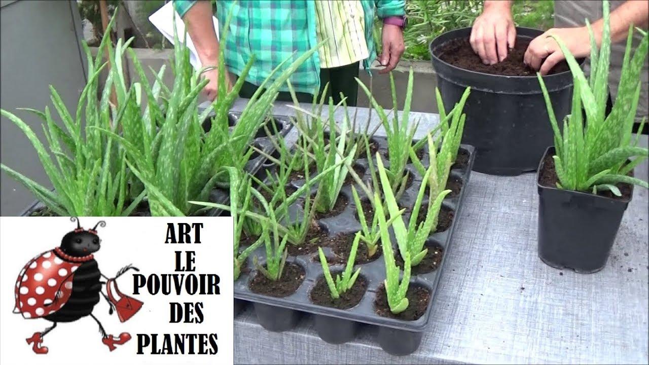 Comment Entretenir Une Plante Aloe Vera conseils jardinage: aloe vera: arrosage et entretien: plante d'intérieur
