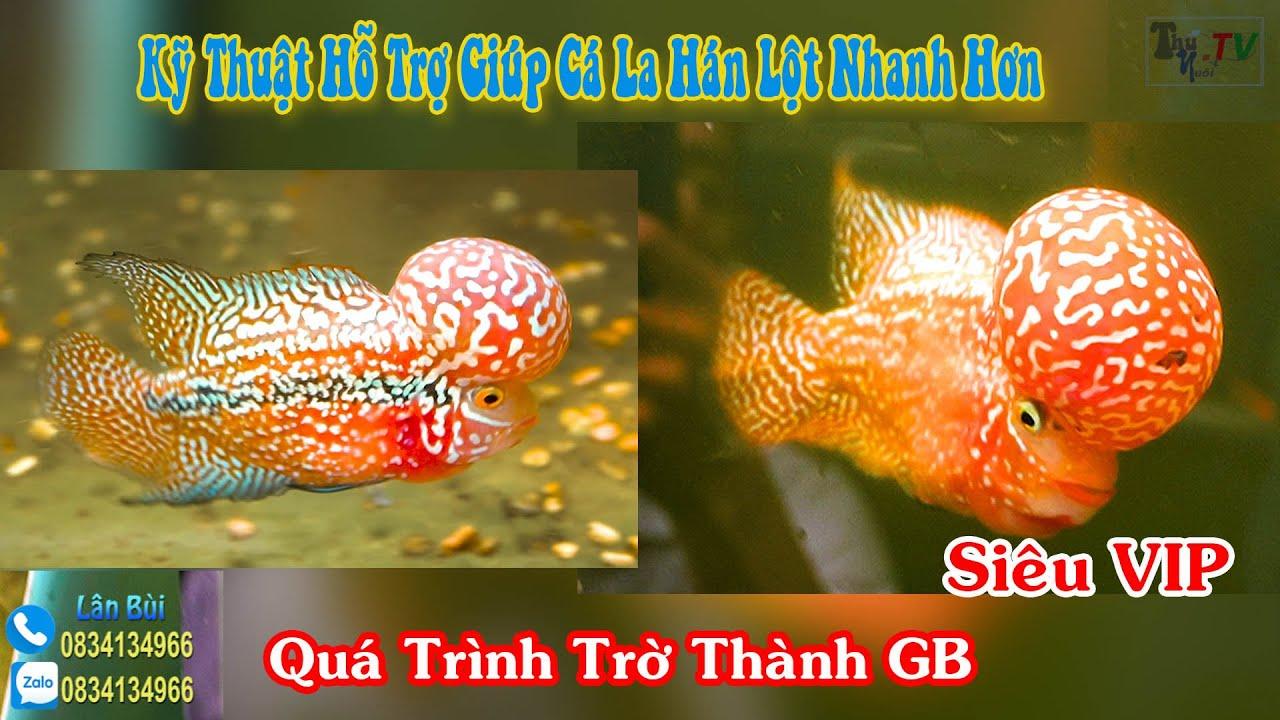 Quá Trình, Kỹ Thuật Hỗ Trợ Giúp Cá La Hán Nhanh Lột : Kamfa GB