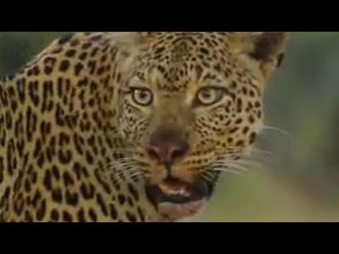 Leopards vs zebra - BBC wildlife