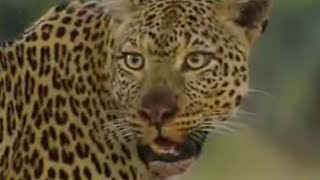Leopards vs zebra - BBC wildlife