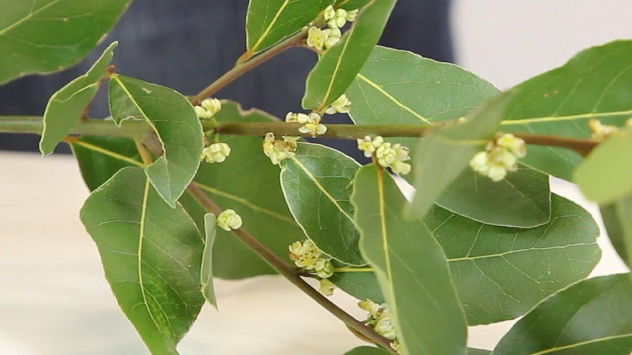 Laurel - Laurus nobilis - Guía de botánica - Sapeando