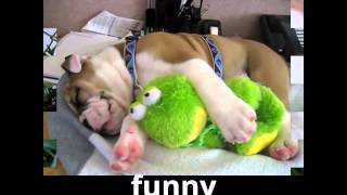Animals Funny Animal The Animal Funny Videos Funny English Bulldog Funny Compilation 2014