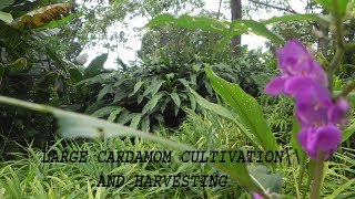 large cardamom cultivation and harvesting