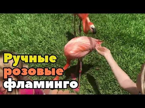Вопрос: Почему птицы фламинго такого розового цвета?