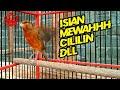 Masteran Kenari Isian Super Mewah Cililin Dan Lain Lain  Mp3 - Mp4 Download