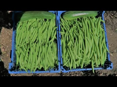 Harvested French Beans, Pruned Soft Fruit, How We Built The Chicken Coop.
