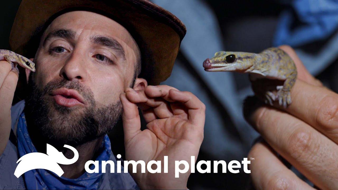 Sufre picadura de hormigas y mordedura de geco | Coyote Peterson: Aventuras Salvajes | Animal Planet