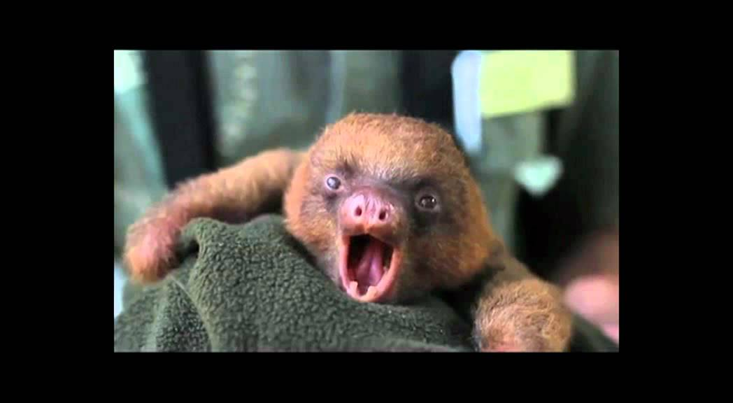 Best Cry Ever Adorable Baby Sloth Yawning Youtube