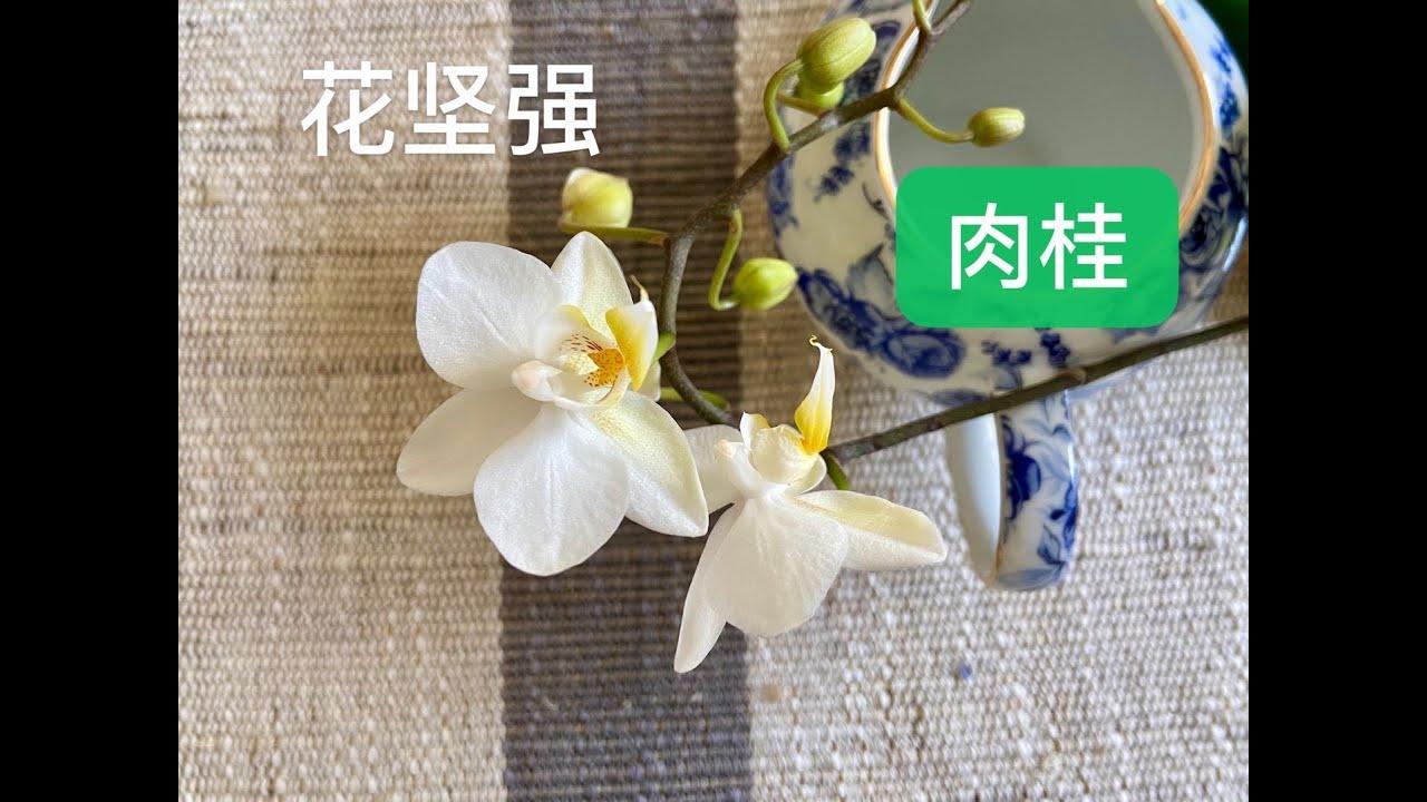 静姐说花377: 肉桂粉与兰花,蝴蝶兰带花试,桂皮粉能杀菌不伤花吗?