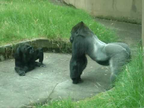 silverback attack! (or, gorilla & the guy who soils his pants)