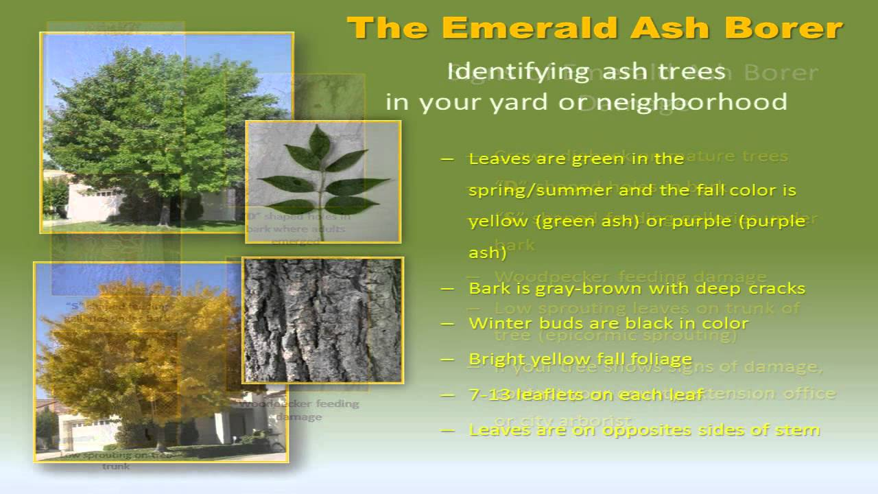 Earl May Garden Center Identifying And Protecting Against Emerald Ash Borer Eab Youtube