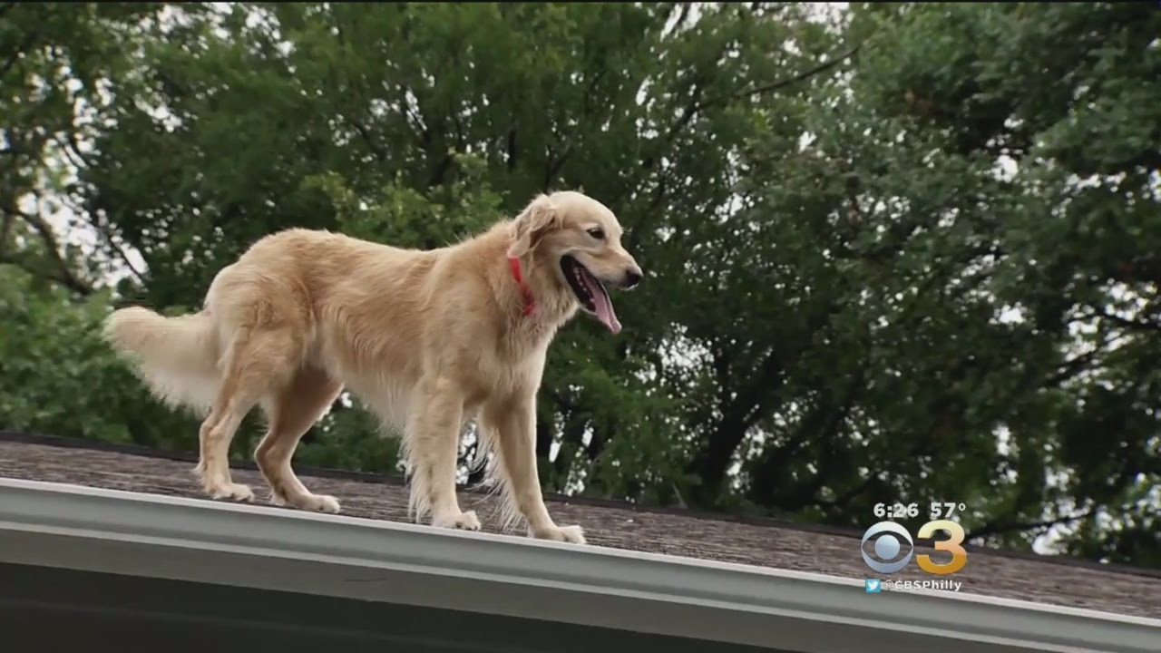 Texas Golden Retriever Loves To Hang Out On House Roof