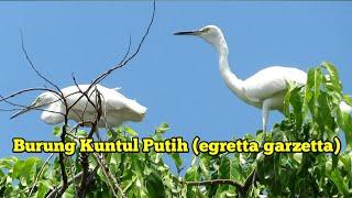 Download Mp3 Burung Kuntul Putih Di Alam  Egretta Garzetta