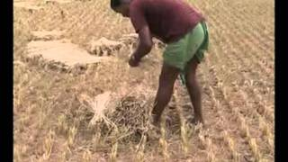 Traditional harvesting techniques in paddy cultivation Odia, PRAGATI, Odisha
