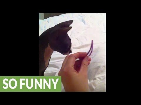Sphynx kitten's favorite game is fetch
