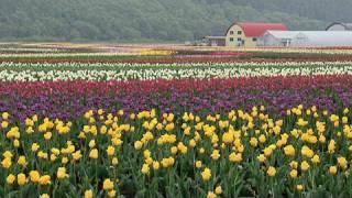 上湧別町チューリップ公園(HD1280x720p) 1,200,000 Tulip