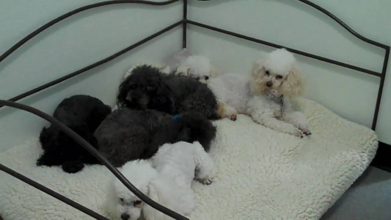 Image Result For Toy Poodle Rescue