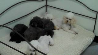 Six Toy Poodles Arrive At Poodle Rescue Of Houston