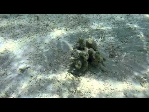 Baby Humbug Damsel Fishes...