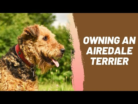 Owning an Airedale Terrier Breeder Recommendations