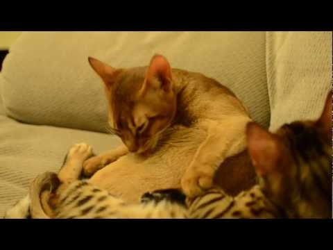 Bengal and Abyssinian kitten - cuddles and wrestling