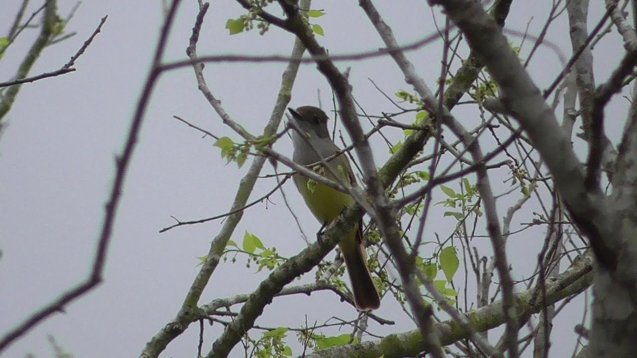 Dusky-capped Flycatcher. Brownsville, Texas.