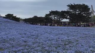 ひたち海浜公園 ネモフィラの丘 2018,4,14 ネモフィラの丘 検索動画 7
