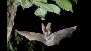 Bats hunting Insects - Fledermaus jagt Insekten