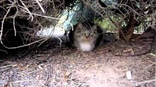 Maine Coon Big Boy in the Bush Cave