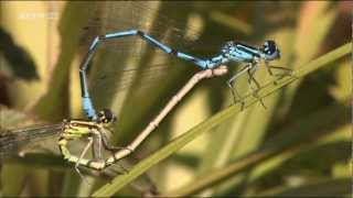 Спаривание и метаморфоз стрекоз(Фрагмент фильма