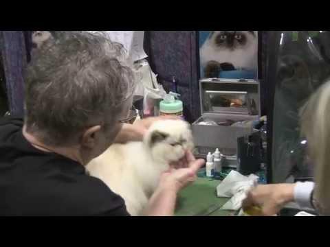 CFA Cat show - Glendale 2015
