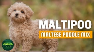 Maltipoo | Meet the Adorable, Little Teddy Bear for Allergy Sufferers and Novice Pet Owners