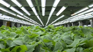 A New York, les salades high-tech des fermes verticales