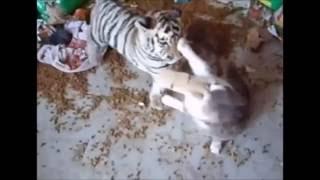 ネコとトラの赤ちゃんが遊んでます。 エサの散乱ぐらいが遊びの激しさを...