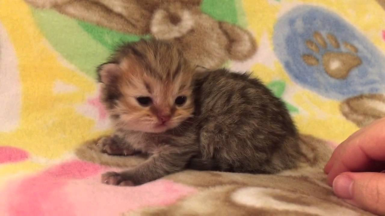 Sweet Baby Benny Golden Teacup Persian Kitten for Sale