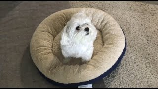Healthy and favorite food for Maltese dog