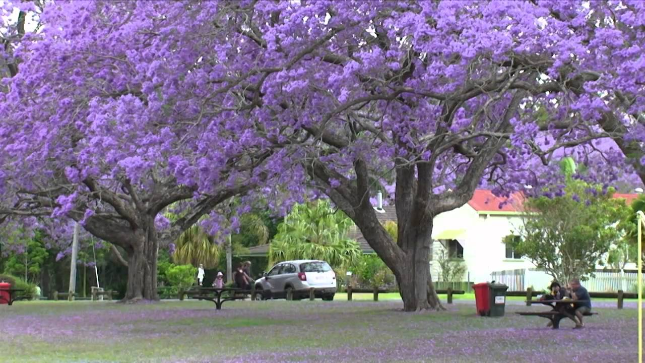 how to get rid of jacaranda tree