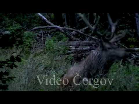 Kaliště v době říje - video Čergov