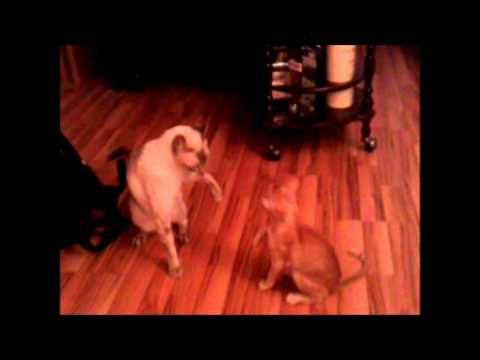 funny cat fight, oriental and siamese / Bataille de chats, siamois et oriental