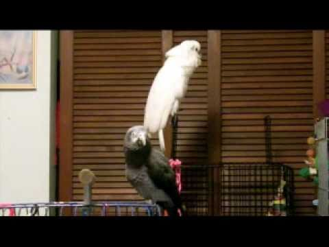 African Grey telling Cockatoo to Shut UP!