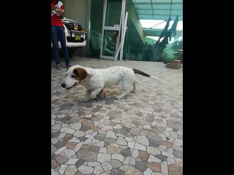 Kratos A Sus 5 Meses Basset Hound And Dalmatian Cross Youtube