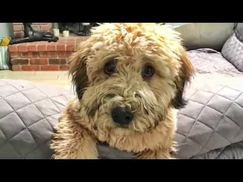 6mo Soft Coated Wheaten Terrier Remy~ Best Terrier Trainers Phoenix