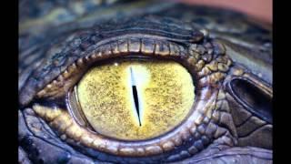 Глаза крокодила