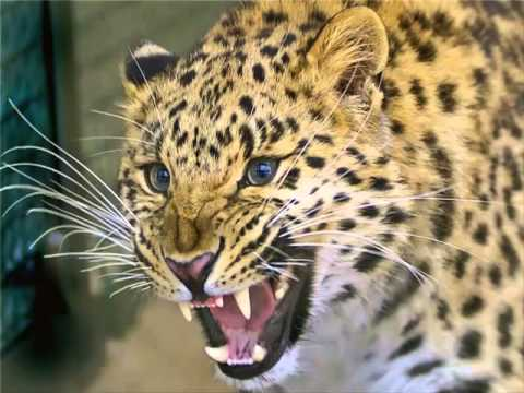 Voice leopard, leopard roar, scream leopard, leopard sound ...