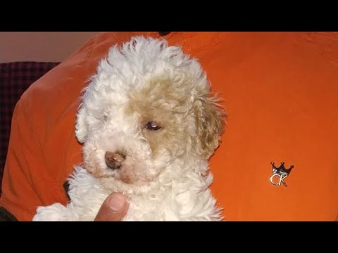 May 2019: Poodle Puppies for Sale in India. White Poodle, Black Poodles and Light Golden Poodle Pups