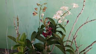 Como Cultivar Orquídea Denphal