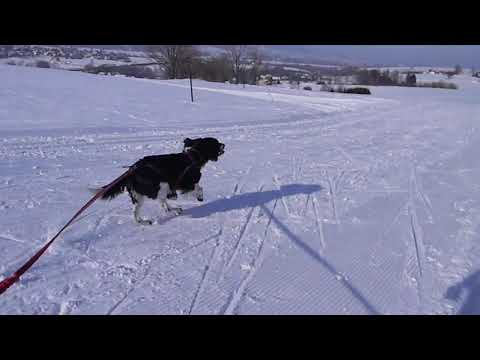 English Springer Spaniel - Skijoring with 'Black and White Dog Express'